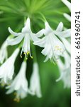 Small photo of close up of white agapanthus flower as background.