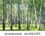 White Birch Trees With...