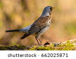 song thrush walking on brown... | Shutterstock . vector #662025871