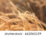 Small photo of the field of the ripened gold wheat closeup. harvest, agriculture, food, production, eco, agronomics concept.