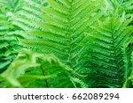 fern leaves  natural texture | Shutterstock . vector #662089294