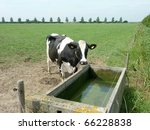 A Cow At A Water Reservoir