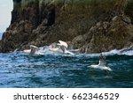 northern gannets  bass rock ... | Shutterstock . vector #662346529