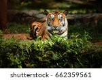 bengal tiger on nature | Shutterstock . vector #662359561
