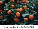 bitter orange tree  citrus... | Shutterstock . vector #662404684