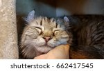 Stock photo scratch a chin of long hair cat 662417545