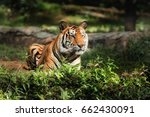 bengal tiger on nature in zoo | Shutterstock . vector #662430091