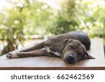 black dog sleeping on wood... | Shutterstock . vector #662462569