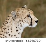 Cheetah Side View Profile....