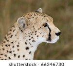 Cheetah Side View Profile....