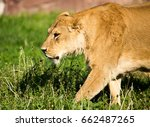 Lioness On The Grass In The Wild