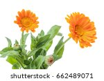 calendula flowers isolated on... | Shutterstock . vector #662489071