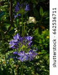 Small photo of African lily (Agapanthus) flowers in bloom.