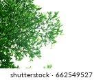 green leaves on white... | Shutterstock . vector #662549527