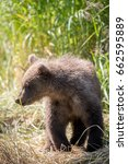 Small photo of An Alaskan brown bear cub on the shore of Brooks River on a summer day in Katmai National Park, Alaska
