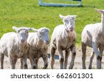 sheepdog with herd of sheep in...   Shutterstock . vector #662601301