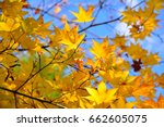 japanese yellow maple leaf with ... | Shutterstock . vector #662605075
