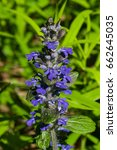 Small photo of Bugleherb or bugleweed, Ajuga reptans, blossom with bokeh background, close-up, selective focus, shallow DOF.