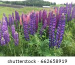 beautiful colorful blooming... | Shutterstock . vector #662658919