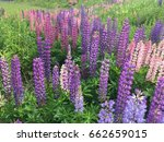 beautiful colorful blooming... | Shutterstock . vector #662659015