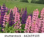 beautiful colorful blooming... | Shutterstock . vector #662659105
