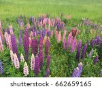 beautiful colorful blooming... | Shutterstock . vector #662659165