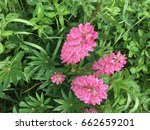 beautiful colorful blooming... | Shutterstock . vector #662659201