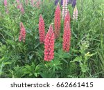 lupine  lupin. a plant of the...   Shutterstock . vector #662661415