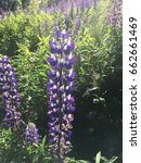 lupine  lupin. a plant of the...   Shutterstock . vector #662661469