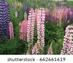lupine  lupin. a plant of the...   Shutterstock . vector #662661619
