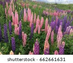 lupine  lupin. a plant of the...   Shutterstock . vector #662661631