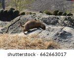 a cute prairie dog closeup | Shutterstock . vector #662663017
