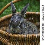 bunny in a basket | Shutterstock . vector #662734615