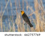 Small photo of Yellow-headed Blackbird