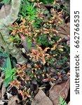 Small photo of Colorful ficoidea Alternanthera in the square garden