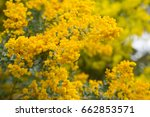 Small photo of bright yellow fragrant flowers of acacia howittii