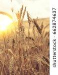 Wheat Beards.wheat Field...