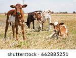 calves on the plains and... | Shutterstock . vector #662885251