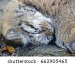 Small photo of Manul is sleeping