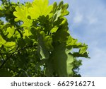 beautiful useful tree against... | Shutterstock . vector #662916271