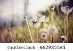 white weed fluffy dandelions in ... | Shutterstock . vector #662935561