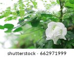 white wild flawer and fresh... | Shutterstock . vector #662971999