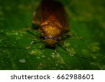 cockroaches from the equatorial ... | Shutterstock . vector #662988601