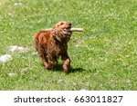 Cocker Spaniel With A Stick In...