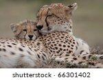 cheetah | Shutterstock . vector #66301402