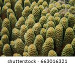 Small photo of Branching coral, Acropora millepora