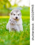 Small photo of Alaskan malamute puppy and kitten sitting together on green grass