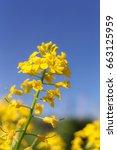 mustard flowers closeup on a...   Shutterstock . vector #663125959