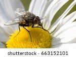 Fly On A Daisy Close Up Macro