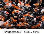 japanese fancy koi carp fishes   Shutterstock . vector #663175141